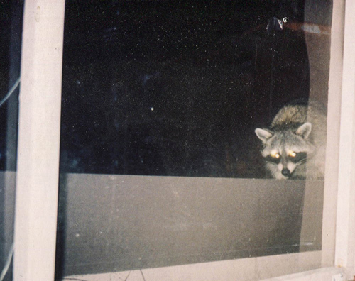 Rocky... Our in-house Racoon!